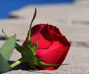 bloemen roos image