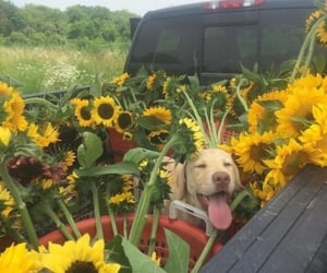 flowers, dog, and sunflower image