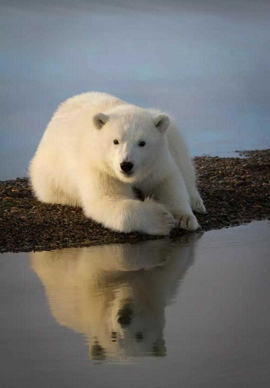 Animales, belleza, and oso polar image