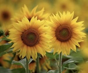 beautiful, sunflowers, and yellow image