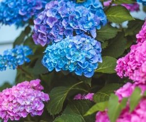 blue flowers, hydrangeas, and spring image
