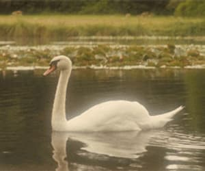 beautiful, pond, and Swan image