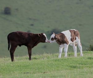 cows, animal, and cow image