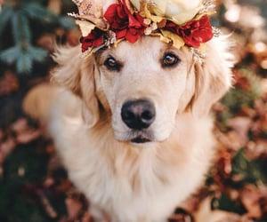 autumm, golden retriever, and cute image