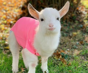 adorable, goat, and cute image