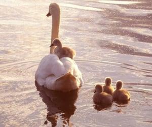 cute, animal, and Swan image