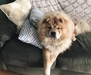 chowchow, chowlover, and chowchowpup image