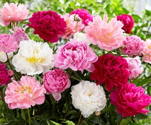 field, peony, and roses image