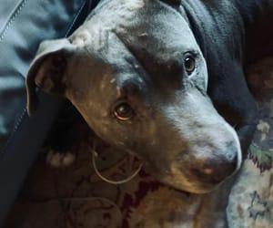 pit bull, frankie labrava, and dl's boy image