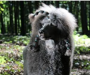 animal, dog, and poodle image