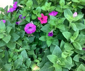beauty, nature, and petunias image