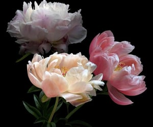 aesthetic, peonies, and pretty image