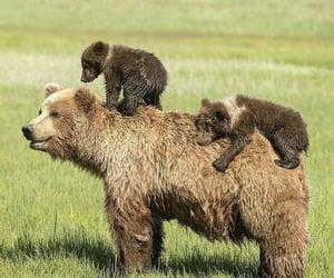 divertido, naturaleza, and osos image