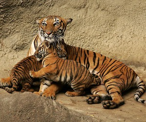 loving, cute, and tiger image