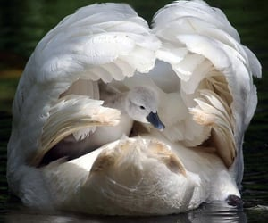 Swan, animal, and nature image