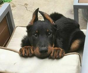 sweet dog słodki pies piesek psiak psiaki psy doberman