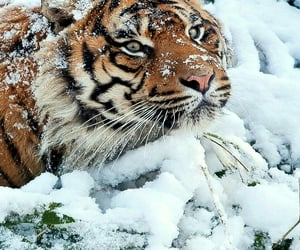 snow and tiger image