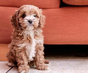 Cavalier King Charles Spaniel / Poodle Croquet / Pinterest