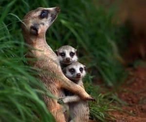 animals, meerkat, and families image
