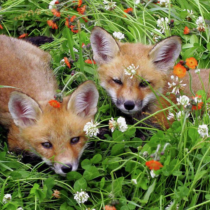 animal, fox, and aesthetic image