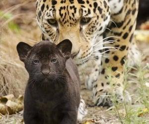 animal, leopardo, and naturaleza image