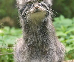 Afghanistan, small, and wild cat image