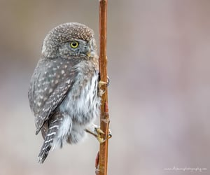Northern Pygmy Owl - Canada  By bucci_wildlife_tours