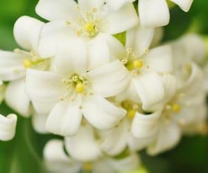 flowers, jasmine, and jasmine flowers image