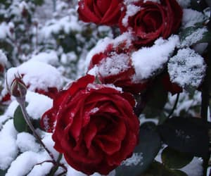 rose, snow, and flowers image