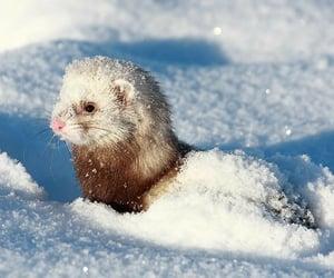 snow, animal, and ferret image