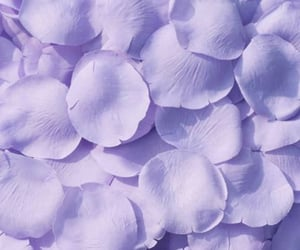 purple, flowers, and petals image