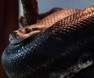 anaconda, python, and snakes image