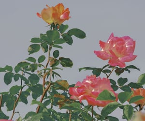blooming, flowers, and rose garden image