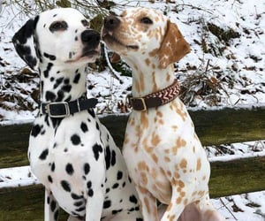 black, dalmatians, and dogs image