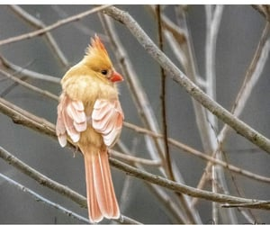 in the wild, northern cardinal, and gorg af image