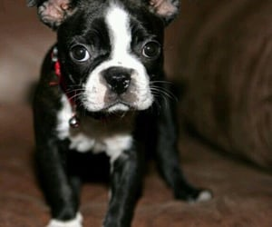animals, boston terrier, and pets image