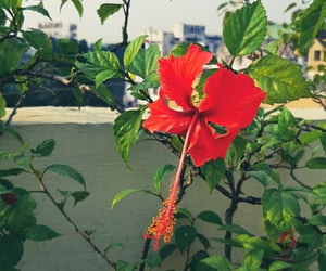 flower photography, hibiscus, and nature photography image
