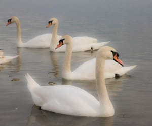 january, Swan, and winter image