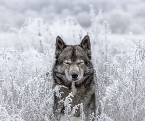winter, wolf, and snow image