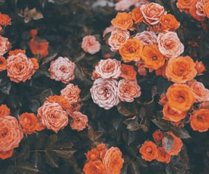 beautiful, red roses, and nature photography image