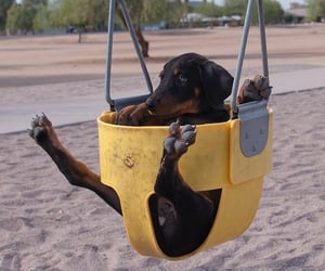 animals, doberman, and dogs image