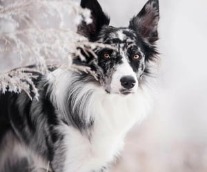 animals, dogs, and collie image