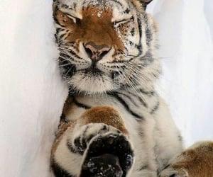 snow, tiger, and animal image