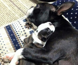 animals, boston terrier, and cuddle image