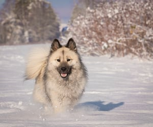 animals, dogs, and eurasier image
