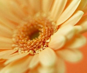 daisy, flowers, and yellow image
