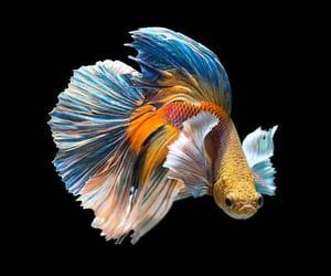 beautiful, betta, and fish image