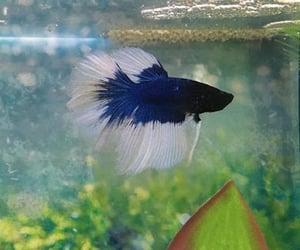 aquarium, betta, and fish image