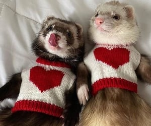 cute, animal, and ferrets image