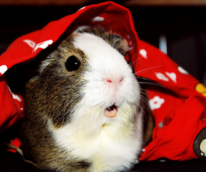 adorable, guinea pig, and mouse image